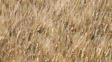 shaking wind : Close up wield of ripe mature wheat full ears spikes shaking in the wind, low angle view