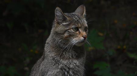 cativeiro : Close up side profile portrait of one European wildcat (Felis silvestris) looking away and turning head alerted, low angle view