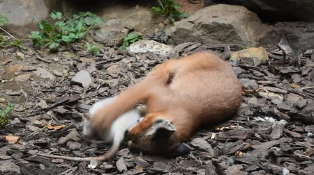 předstírat : Close up view of one cute baby caracal kitten playing with food, dead white rat, imitating hunting and chasing prey, low angle