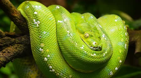 motif camouflage : Cinemagraph de close up side profile portrait of beautiful Green tree python (Morelia viridis) looking in camera, low angle view