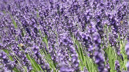 Close up backgrounds of blooming purple lavender flowers field, shaking in the wind, low angle view