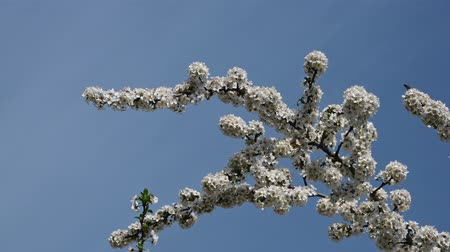 Вишневое дерево : Close up white cherry tree blossom over clear blue sky low angle view 4K