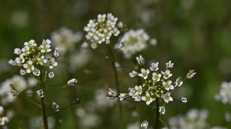Extreme close up white Capsella flowers over green grass background high angle view selective focus slow motion Vidéos Libres De Droits
