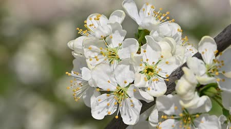 Close up white cherry plum tree blossom with green leaves low angle view slow motion Vídeos