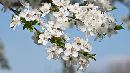 fragilidade : Close up white cherry tree blossom over clear blue sky low angle view slow motion