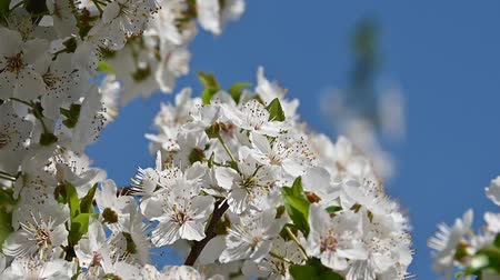 хрупкость : Close up white cherry tree blossom over clear blue sky low angle view slow motion