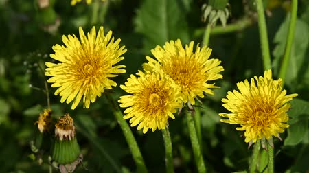 fragilidade : Extreme close up several yellow dandelion flowers over green grass background high angle view Stock Footage