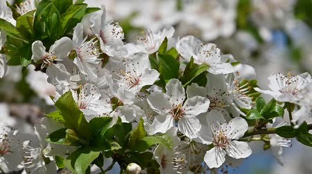 fragilidade : Close up white cherry plum tree blossom with green leaves low angle view slow motion Stock Footage