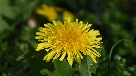 kırılganlık : Extreme close up one yellow dandelion flower head over green grass background low angle view Stok Video