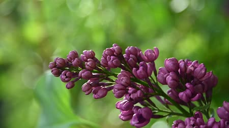 fragilidade : Close up purple lilac flowers with fresh spring green leaves low angle view