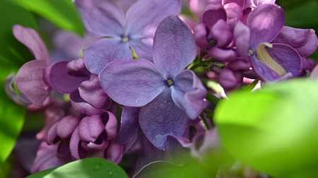 fragilidade : Extreme close up purple lilac flowers with fresh spring green leaves low angle view