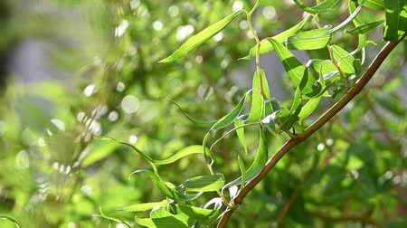 fragilidade : Close up fresh spring branches of Chinese willow tree with leaves and catkins over defocused green background with bokeh low angle view Stock Footage