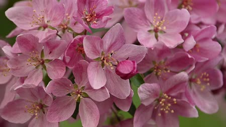 Close up pink Asian wild crabapple tree blossom with green leaves low angle view slow motion Vídeos
