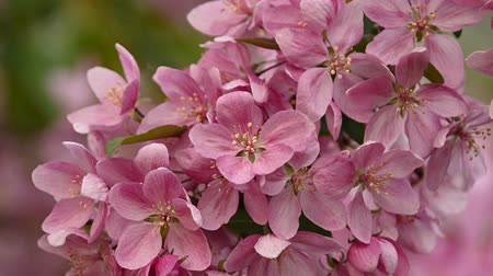 fragilidade : Close up pink Asian wild crabapple tree blossom with green leaves low angle view slow motion Stock Footage