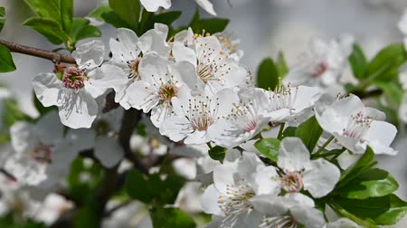 fragilidade : Close up white cherry tree blossom with green leaves low angle view slow motion