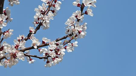 fragilidade : Close up branch of apricot tree blossom over clear blue sky low angle view slow motion
