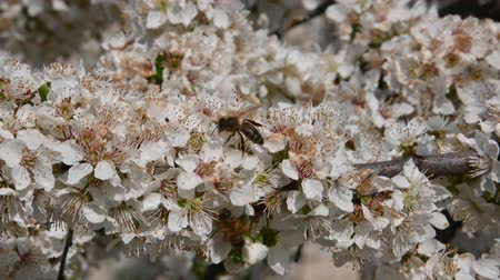 polinização : Close up honey bee on white cherry plum tree blossom with green leaves low angle view 4K