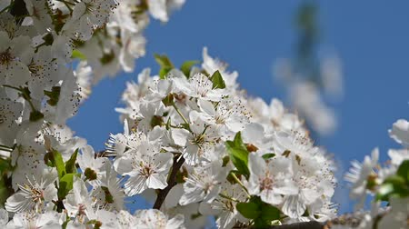 kırılganlık : Close up white cherry tree blossom over clear blue sky low angle view slow motion