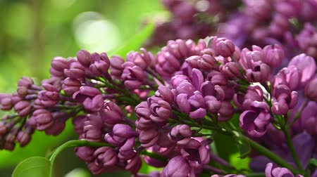Close up purple lilac flowers with fresh spring green leaves low angle view