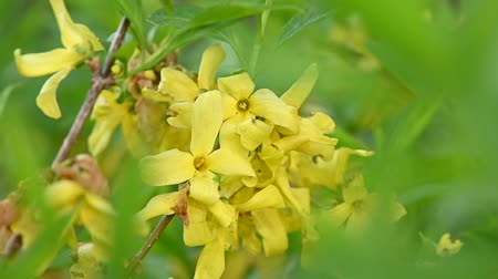 хрупкость : Close up yellow flowers of Forsythia Easter tree with green leaves low angle view