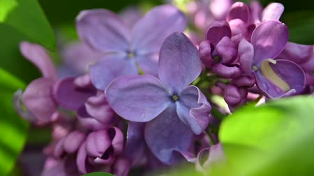 Extreme close up purple lilac flowers with fresh spring green leaves low angle view
