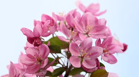 fragilidade : Close up pink Asian wild crabapple tree blossom with green leaves over clear blue sky with copy space low angle view slow motion Stock Footage