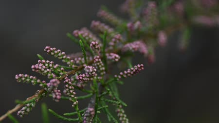 fragilidade : Close up buds of pink Tamarisk (Tamarix tetrandra) low angle view selective focus
