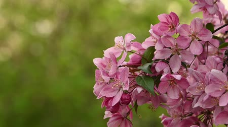 estames : Close up pink Asian wild crabapple tree blossom with leaves over green background with copy space low angle view slow motion