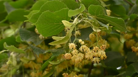 linden : Close up yellow linden tree flowers in bloom low angle view slow motion