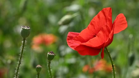 fragilidade : Close up red poppy flowers in green field shaking in wind sunny day low angle view slow motion Stock Footage