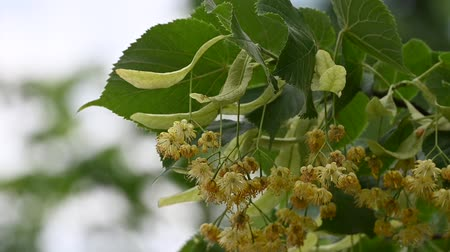 хрупкость : Close up yellow linden tree flowers in bloom low angle view slow motion