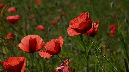 хрупкость : Close up red poppy flowers in green field shaking in wind sunset golden hour low angle view slow motion