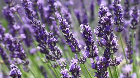 Close up backgrounds of blooming purple lavender flowers field shaking in the wind low angle view