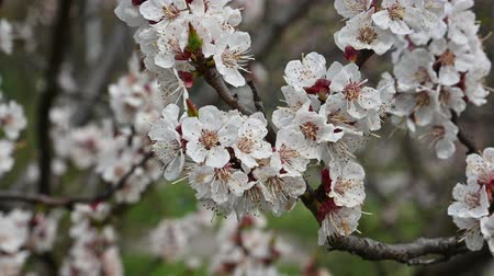 fragilidade : Close up branch of apricot tree blossom, low angle view, 4K Stock Footage