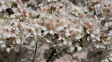 хрупкость : Close up honey bee on white cherry plum tree blossom with green leaves, low angle view, 4K