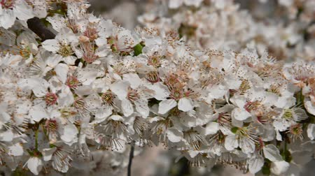 хрупкость : Close up white cherry plum tree blossom with green leaves, low angle view, 4K Стоковые видеозаписи