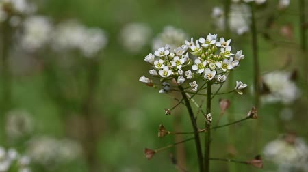 хрупкость : Extreme close up white Capsella flowers over green grass background, high angle view, selective focus, slow motion,