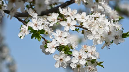 изобилие : Close up white cherry tree blossom over clear blue sky, low angle view, slow motion