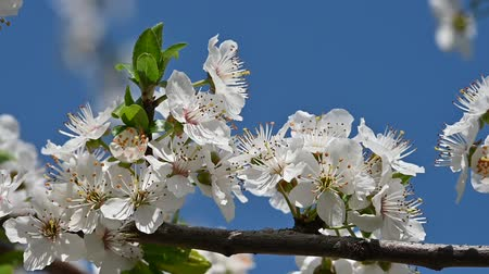 хрупкость : Close up white cherry tree blossom over clear blue sky, low angle view, slow motion