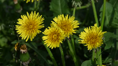 magas szög : Extreme close up several yellow dandelion flowers over green grass background, high angle view