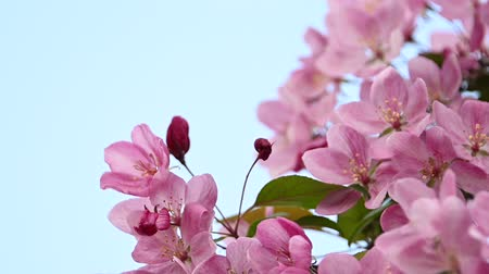 хрупкость : Close up pink Asian wild crabapple tree blossom with green leaves over clear blue sky with copy space, low angle view, slow motion