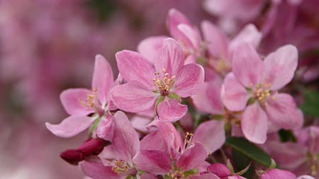 хрупкость : Close up pink Asian wild crabapple tree blossom with green leaves, low angle view, slow motion