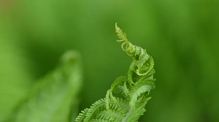paproć : Close up fresh green fern frond in the wind, over green background, low angle view, slow motion Wideo