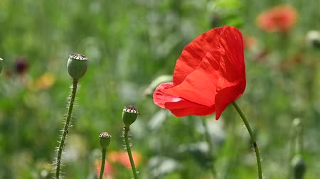 fragilidade : Close up red poppy flowers in green field shaking in wind, sunny day, low angle view, slow motion Vídeos