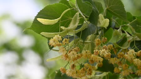 linden : Close up yellow linden tree flowers in bloom, low angle view, slow motion