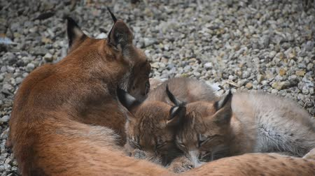 lynx : Mother Eurasian lynx nursing breastfeeding two young baby kittens, close up, high angle view