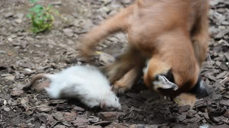 presa : Close up view of one cute baby caracal kitten playing with food, dead white rat, imitating hunting and chasing prey, low angle view
