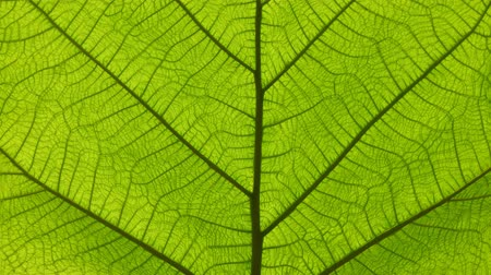 fotosentez : Cinemagraph of close up photosynthesis, macro green leaf veins and cells motion