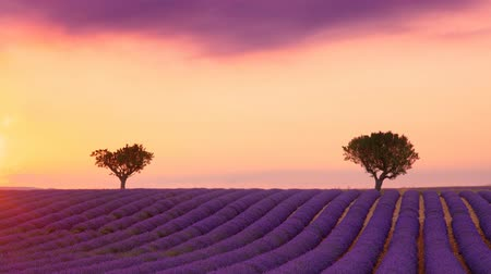 плато : Cinemagraph of purple blooming lavender field of Provence, France, at sunset with beautiful scenic sky and tree on horizon
