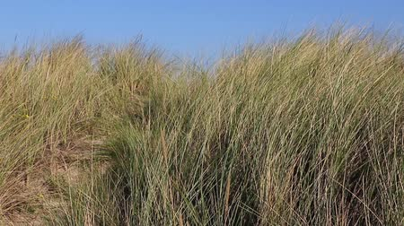 çim : The grass moving in the wind. Grass is growing on the seashore. Stok Video